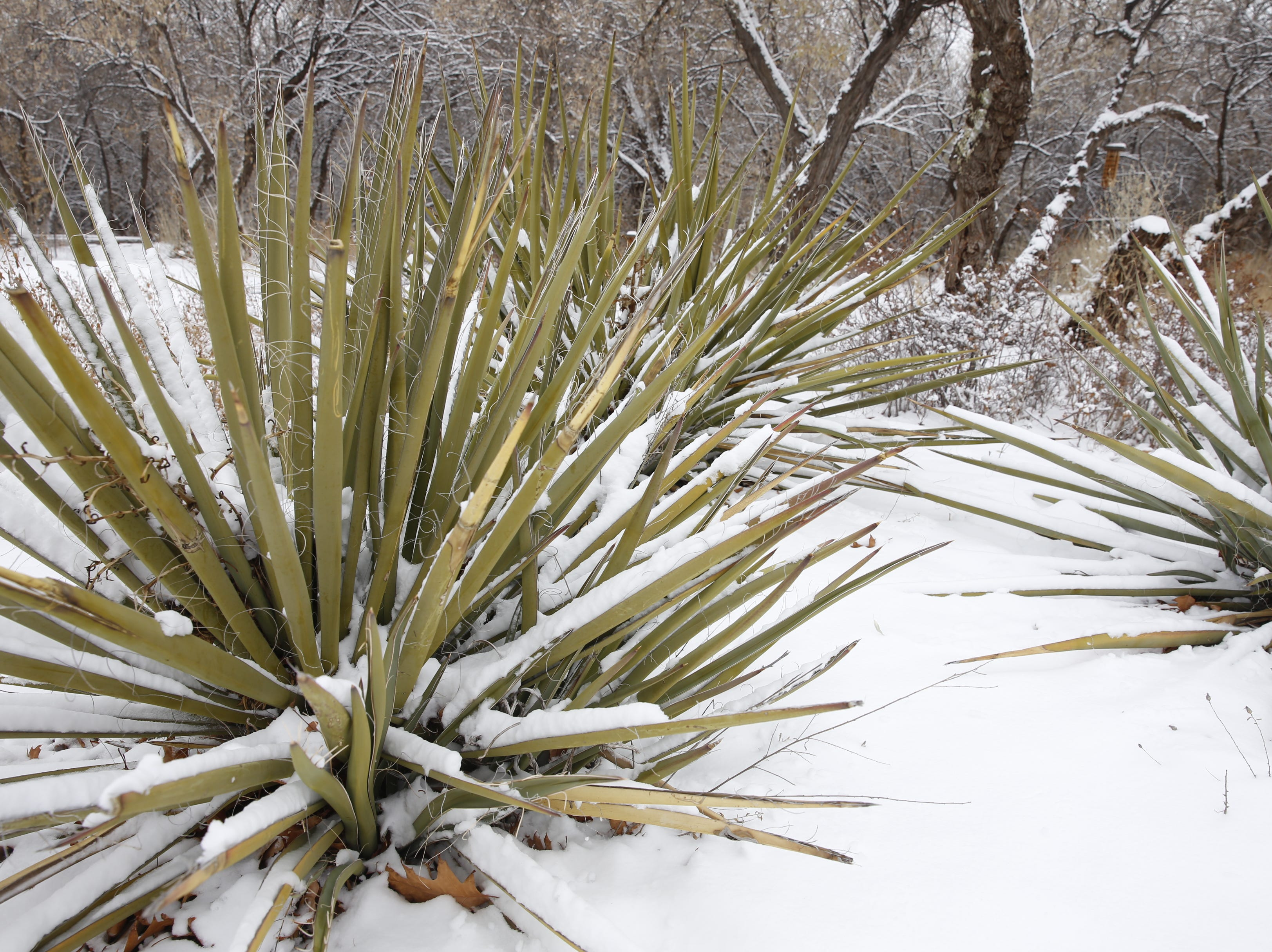 Snow covers yucca plants near the Riverside Nature Center in Farmington on Friday.