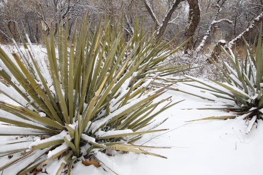 Yucca plants, a hardy evergreen shrub that grow well in the sandy soils of New Jersey's coastal plains, are shown covered in snow.