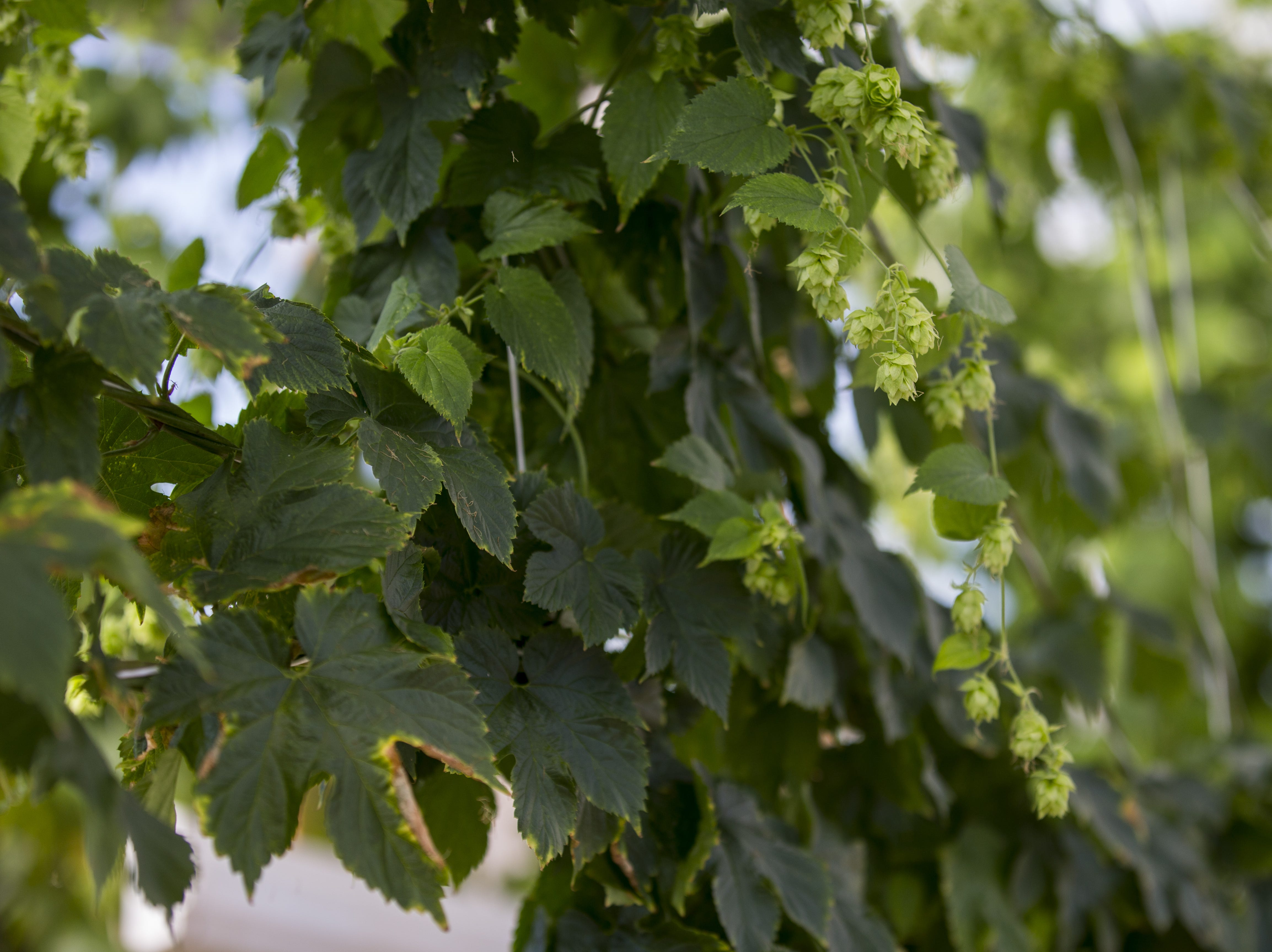 Hops are pictured on Dec. 19, 2018, at 24 Hour Hops near Maricopa.