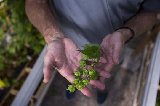 Greg Stelzer holds hops in his greenhouse on Dec. 19, 2018, at 24 Hour Hops near Maricopa.