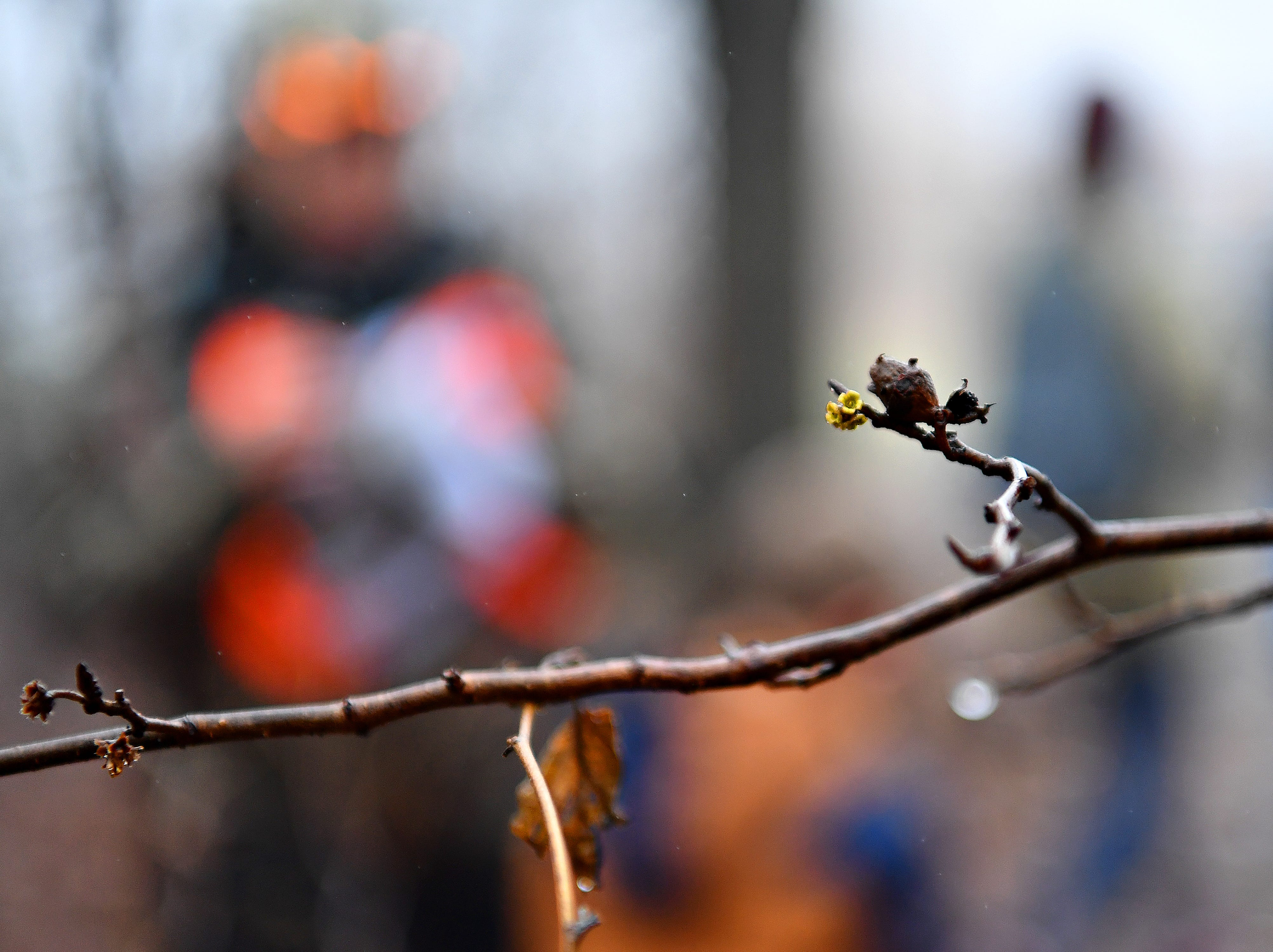 Witch-hazel is seen during a Marshmallow Hike at Rocky Ridge Park in Springettsbury Township, Friday, Dec. 28, 2018. Dawn J. Sagert photo