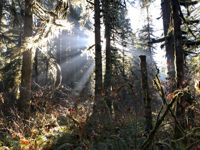 Sunlight streams through the forest along the Howard Creek Trail in Silver  Falls State Park.