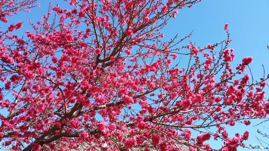 Peach Tree Agrilife