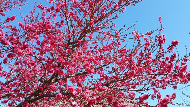 Peach blossoms add color to the spring landscape in San Angelo. Winter is the perfect time to plant fruit trees.