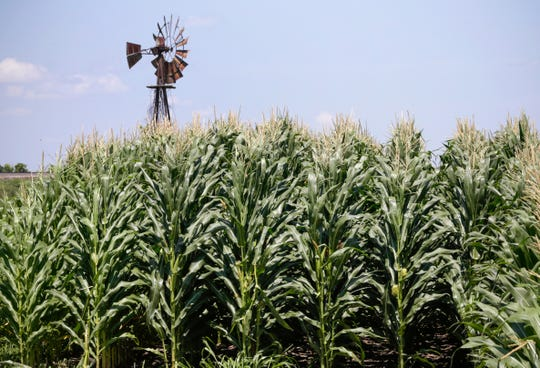 A field of corn grows in front of an old windmill in Pacific Junction, Iowa in July 2018.