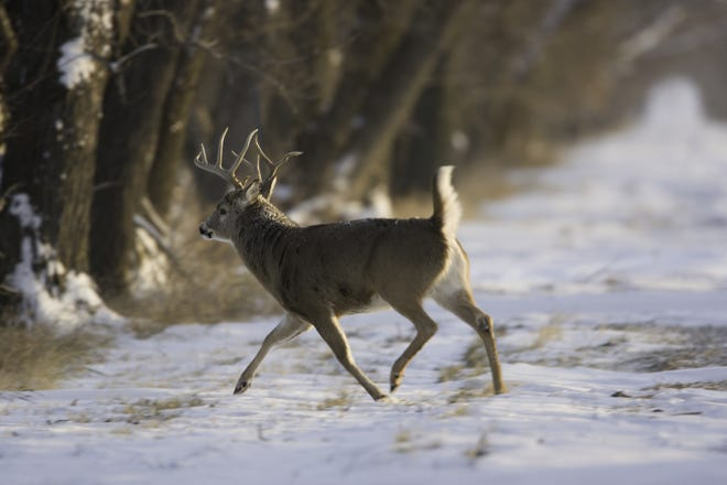A white-tailed deer buck at Loess Bluffs National Wildlife Refuge in Mound City, Mo.