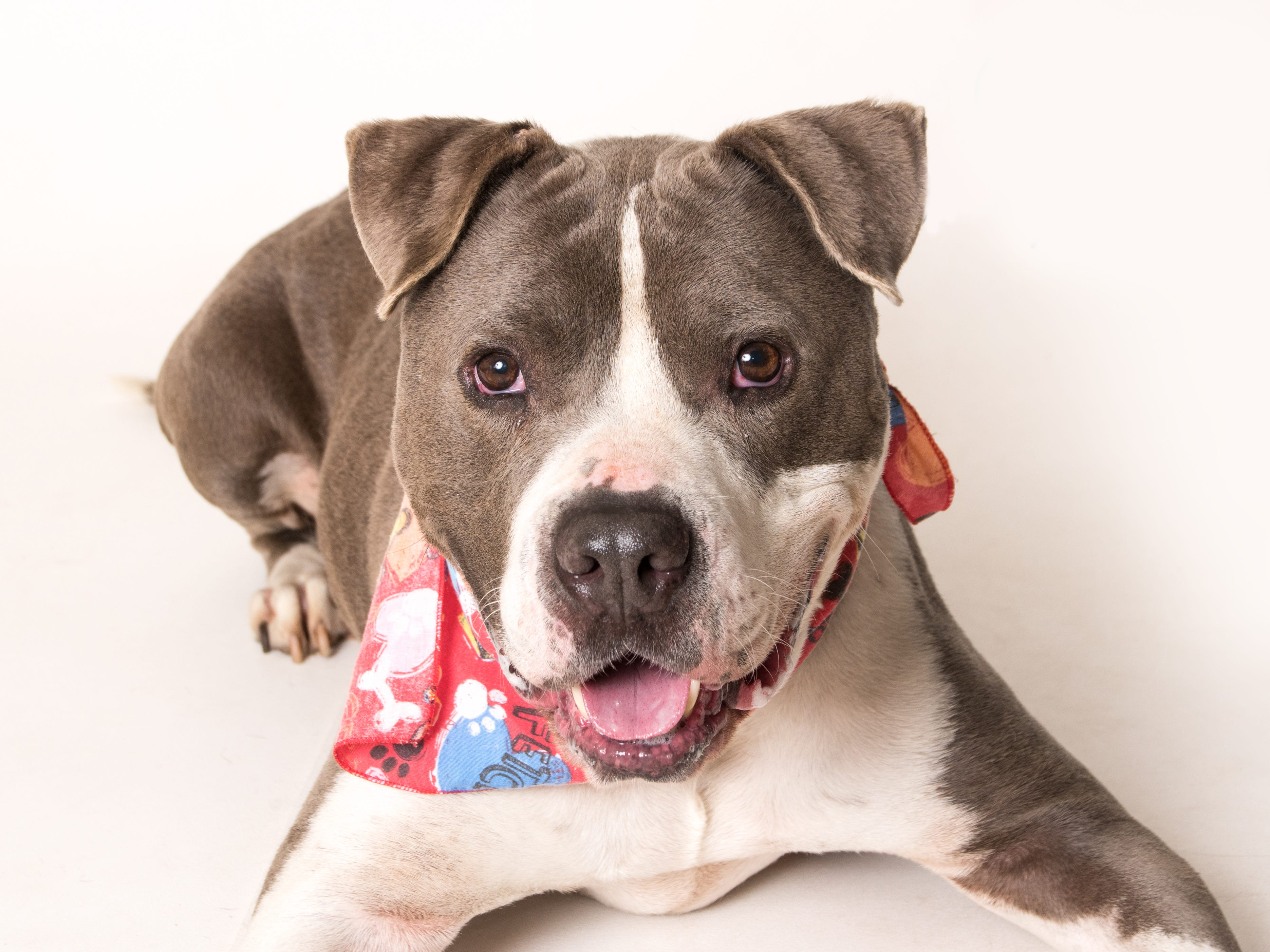 Harley is a playful, sweet and engaging, big, strong boy looking for a family who will play with him and love him for his great personality. He is very playful andfriendly. He loves playing fetch with a ball or tug toy and loves his tummyrubs in between playing fetch. He is responsive to training and loves toplease.Harley is at the Camarillo location of Ventura County Animal Services, 600 Aviation Drive, Camarillo. Ask for ID A591221. For more information on other services available at that locationor to view other animals available for adoption, go to www.vcas.us.