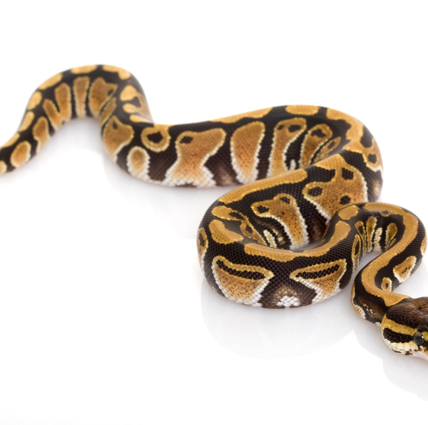 Report: Man steals python from Rockwood pet store by stuffing it in his pants