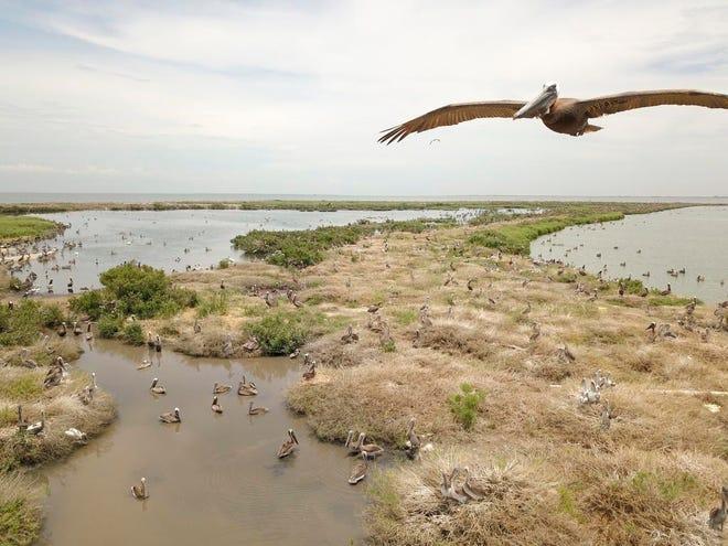 A brown pelican flies over Queen Bess Island in 2018 in Barataria Bay.