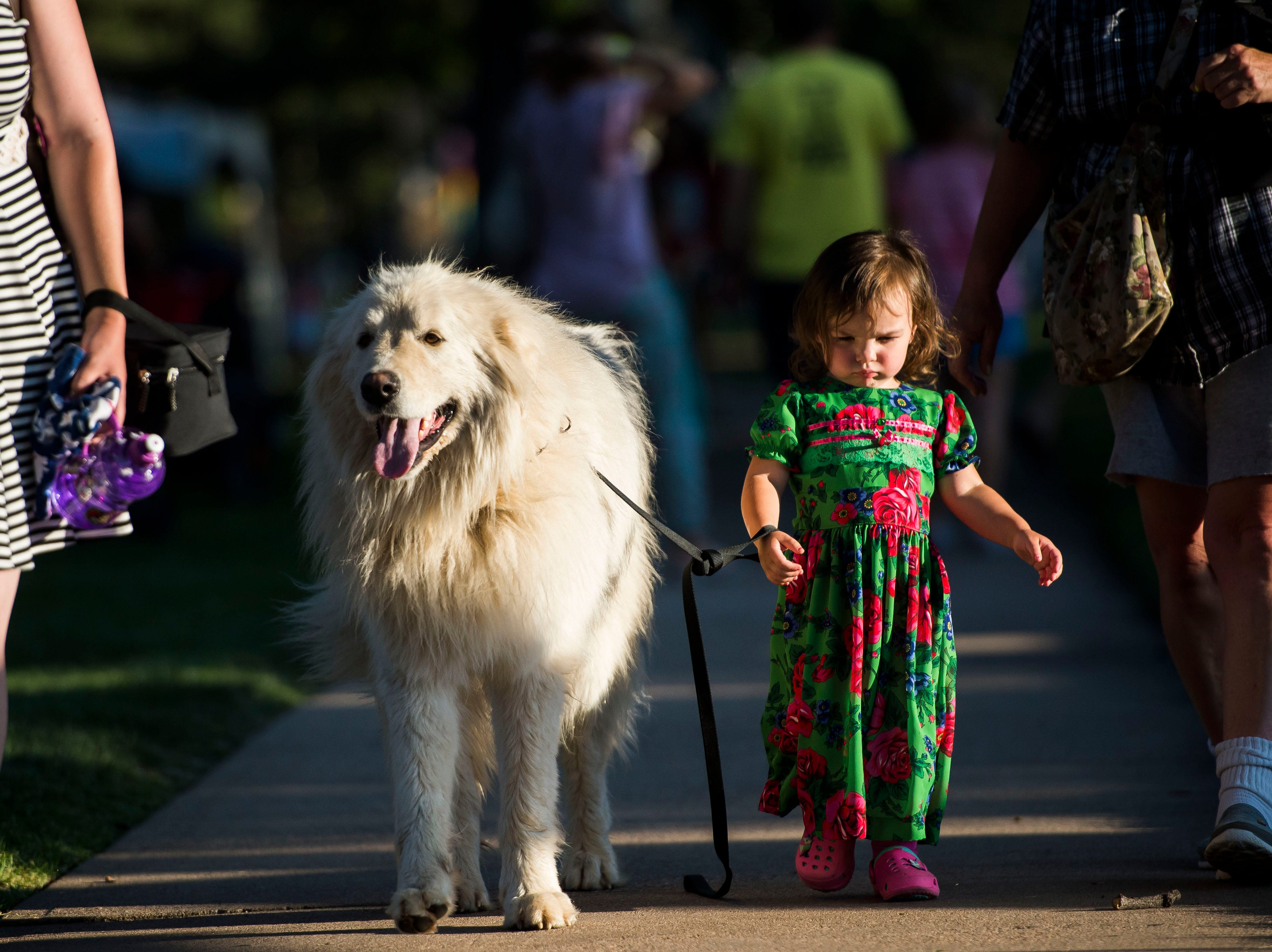 Frosia Alagoz, 2, walks three year old Anatolian shepherd Kuval during the first day of Bohemian Nights at NewWestFest on Friday, Aug. 10, 2018, at  in Old Town Fort Collins, Colo.