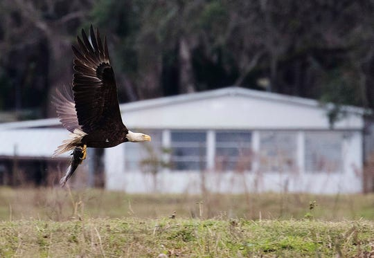 A bald eagle picks up a meal on the Kissimmee River and Chain of Lakes.