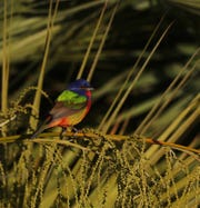 A painted bunting during spring migration at the Sanibel Lighthouse on April 17, 2018.