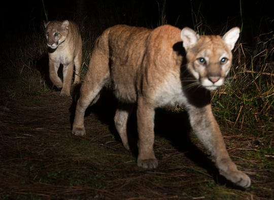 A pair of Florida panthers were photographed by a camera trap set up on the north end of Corkscrew swamp in the CREW Land Trust lands in late 2017. According to Darrell Land, the Florida panther team leader for the Florida Fish and Wildlife Conservation Commission, they could be a mating pair, but he couldn't say for sure because the photos don't show their gender. The FWC website says that mating pairs stay together for about a week. Births can occur at any time of year but are most common between March and July. The gestation period for kittens is 92-96 days. FWC panther biologists estimate there are 120-230 adults and yearlings in Florida.