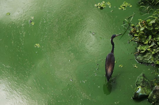 A tri-colored heron wades in an algal bloom along the wall at the Franklin Locks in Alva on Monday 6/25/2018.  An algal bloom has pushed up against the lock. Reports of algae on the river have been reported since last week. Most reports are east of the Franklin Locks. Some are worried that it might move west towards the estuary. The DEP is testing the algae later this week to see if it is toxic.