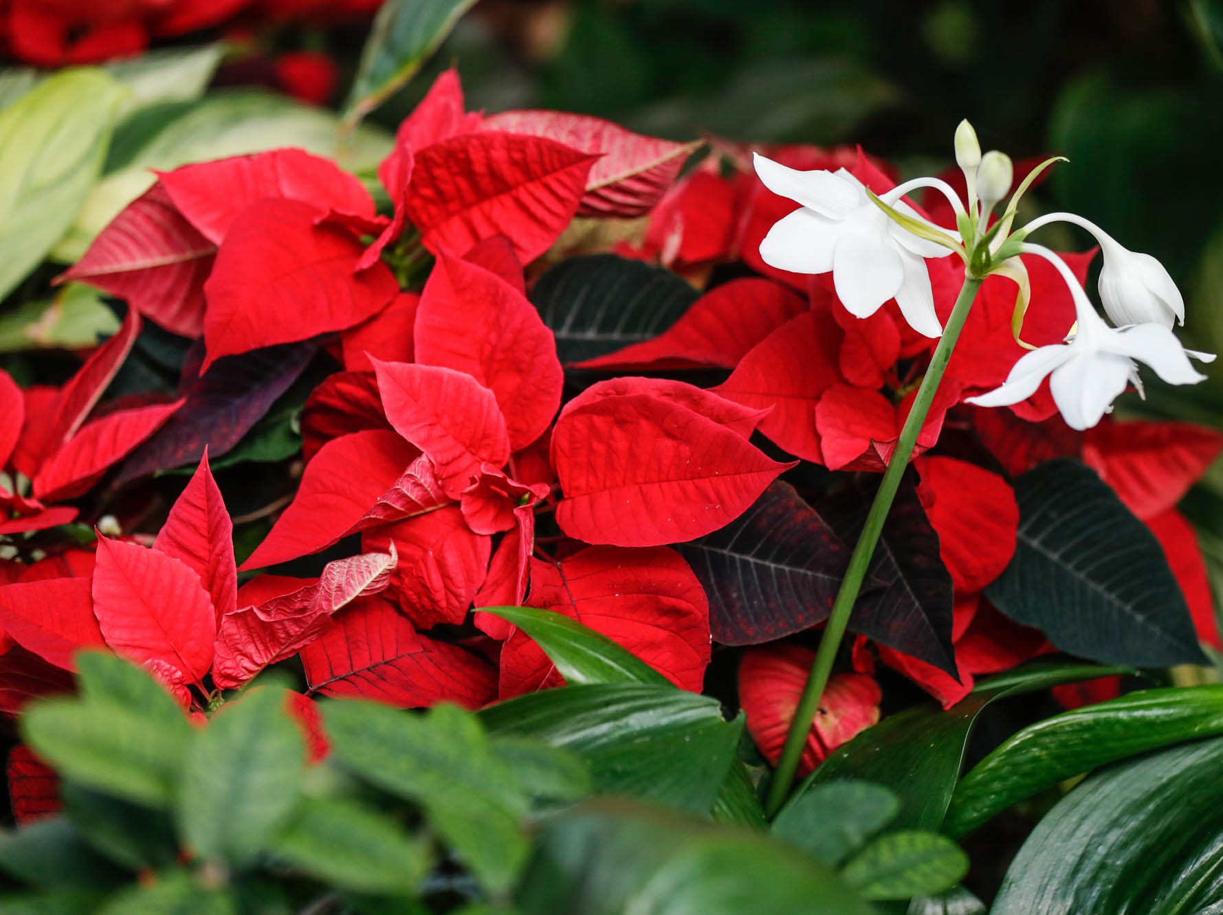 Christmas poinsettias are mixed with tropical plants in the Conservatory Crossing holiday display at the Garfield Park Conservatory on Saturday, Dec. 29, 2018.