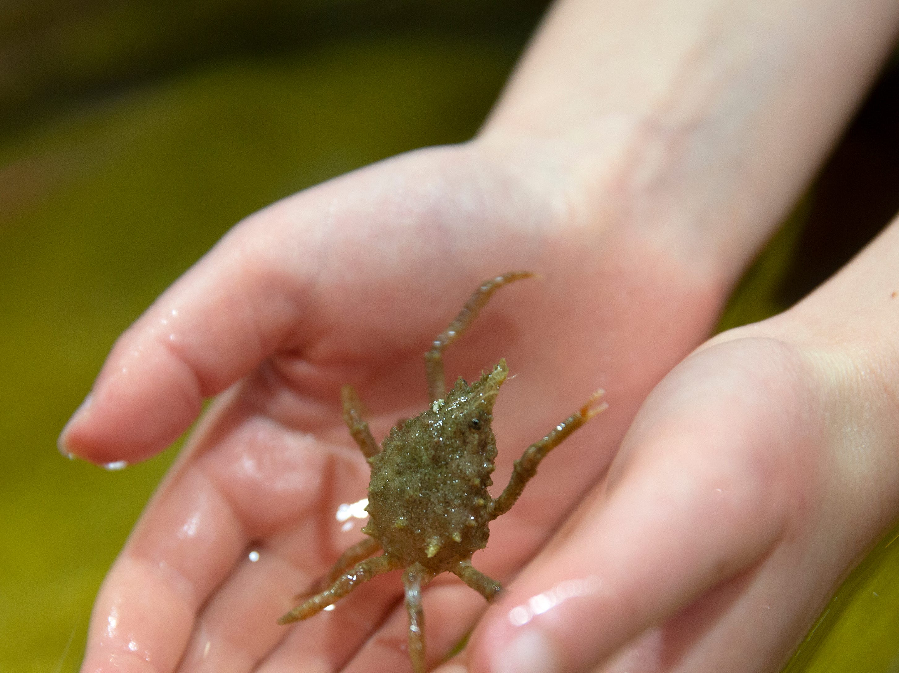 Megan Stallard of Gaithersbury, Maryland, holds a crab at the estuary encounter section at the Rookery Bay Environmental Learning Center, Saturday, Dec. 29, 2018 south of Naples.