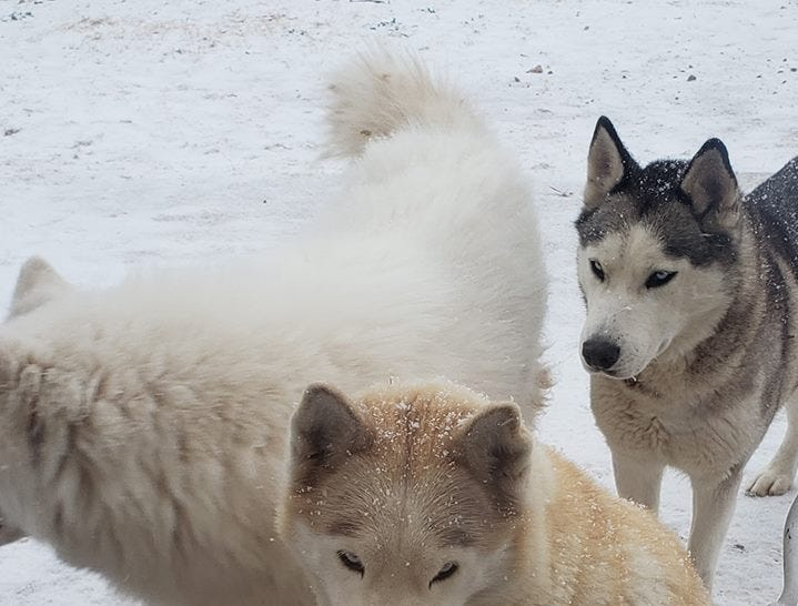 A group of huskies enjoy the snow, Dec. 29, 2018 at a home in Carlsbad.