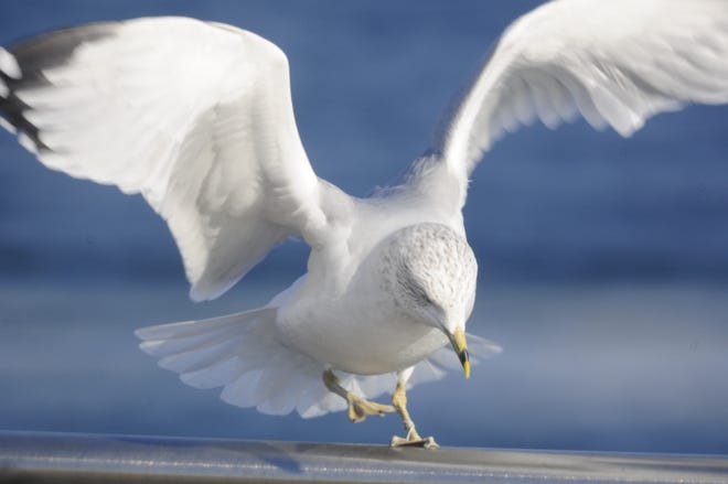 A gull prepares to lift off along the Thomas Edison Parkway in Port Huron.
