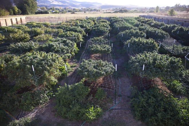 The plants at Michael Monarch's marijuana grow, about 100 plants in all, flourish under vistas of the Cascade and Siskiyou mountains near Ashland in 2015.