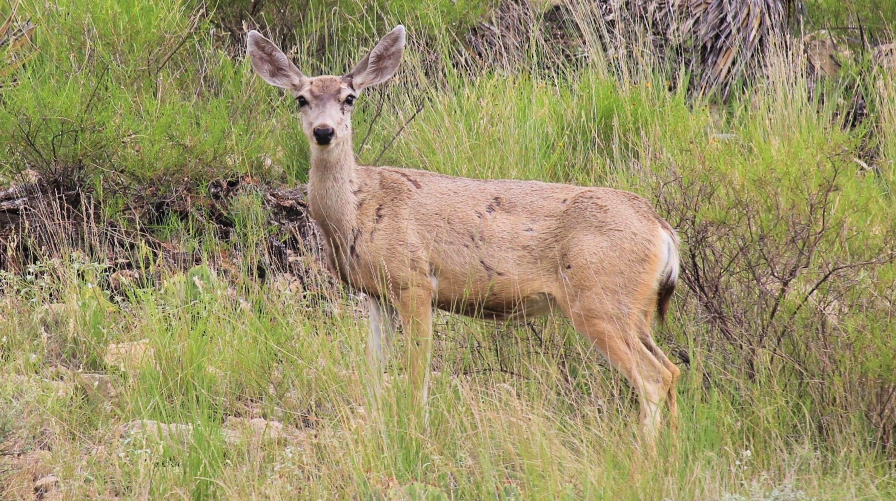 mule deer easily mistaken for white tailed cousins
