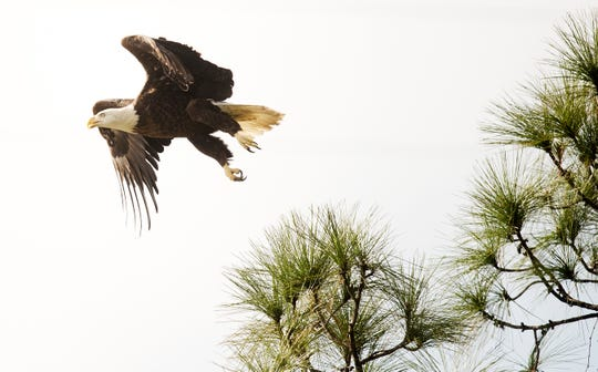 A male bald eagle soars over Yellow Fever Creek Preserve in North Fort Myers on Sunday. The Clinic for the Rehabilitation of Wildlife released the eagle after treating a wing-related injury it suffered on Thanksgiving.