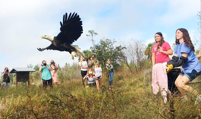 Dr. Malka Spektor, a veterinary intern from the Clinic for the Rehabilitation of Wildlife, releases a male bald eagle Sunday at the Yellow Fever Creek Preserve in North Fort Myers. The eagle was brought to CROW on Thanksgiving with a wing-related injury. Go to news-press.com to watch a video of the release.