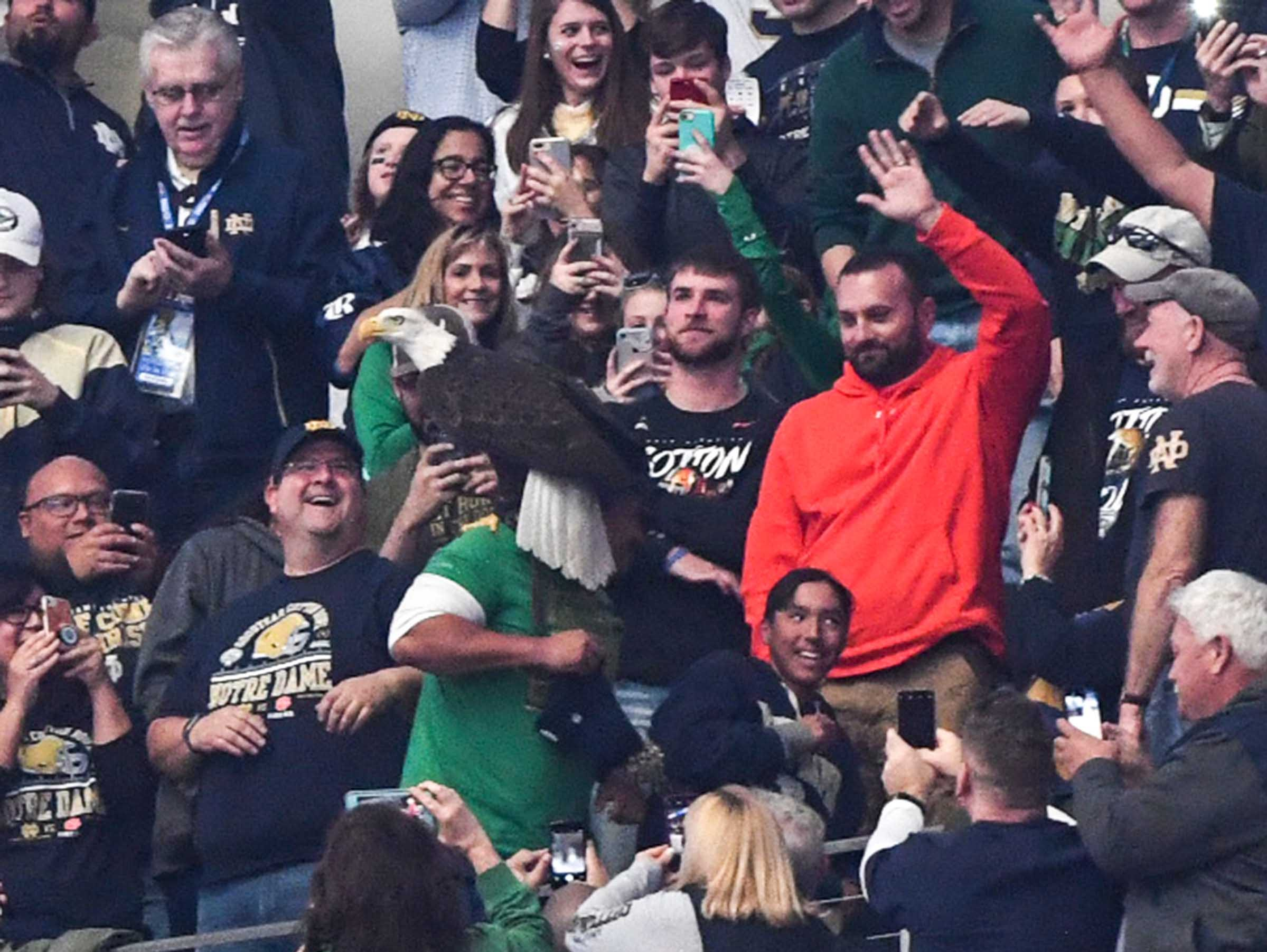 A bald eagle lands on a Notre Dame fan before the first quarter of the College Football Playoff Semifinal at the Goodyear Cotton Bowl Classic at AT&T Stadium in Arlington, Texas Saturday, December 29, 2018.
