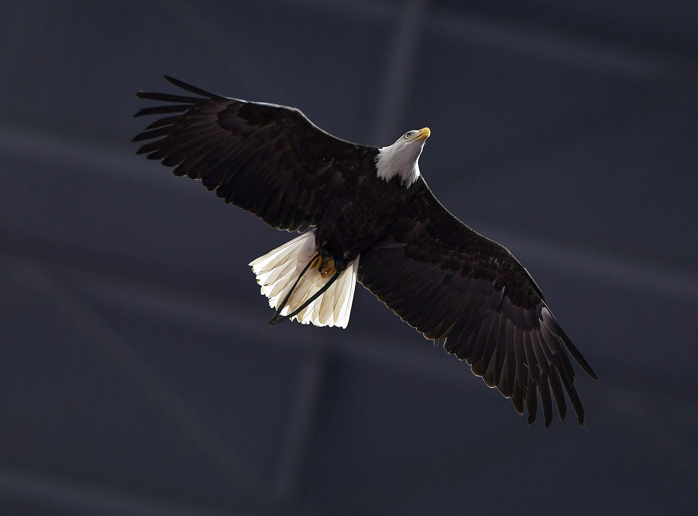 An eagle flies during pregame of the Goodyear Cotton Bowl at AT&T stadium in Arlington, TX Saturday, December 29, 2018.