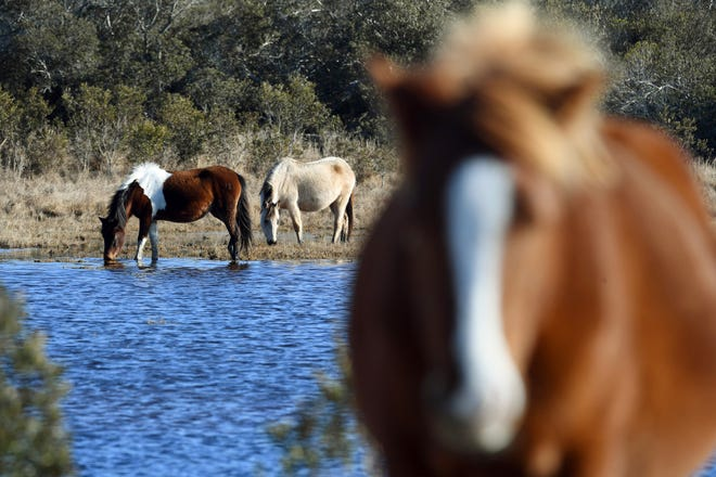 The ponies graze across 4,000 acres of refuge and mostly roam unmonitored.