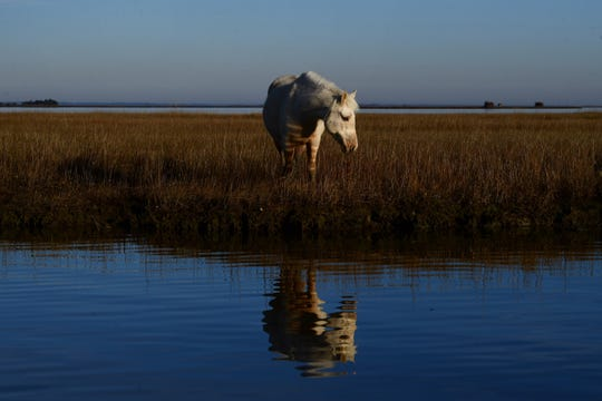 A wild pony reflected in the water at Chincoteague National Wildlife Refuge.