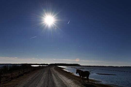 """A wild pony at Chincoteague National Wildlife Refuge in Virginia, where several horses have succumbed in recent months to """"swamp cancer,"""" or pythiosis."""