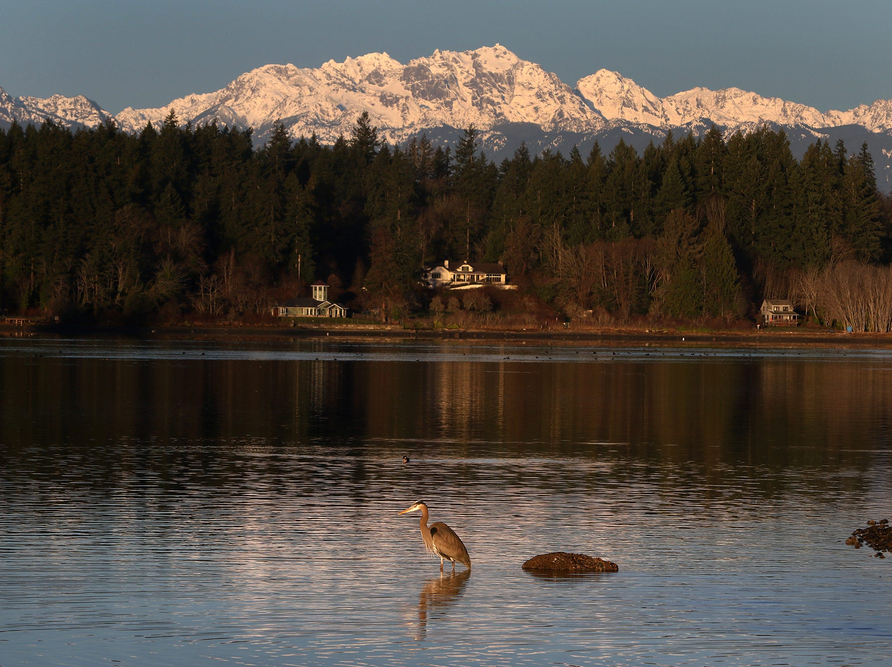 A blue heron stands in the calm water early after sunrise on a clear morning with the Olympic Mountains with a  fresh coat of snow from the Lions Park Boat ramp on Monday, December 31, 2018.