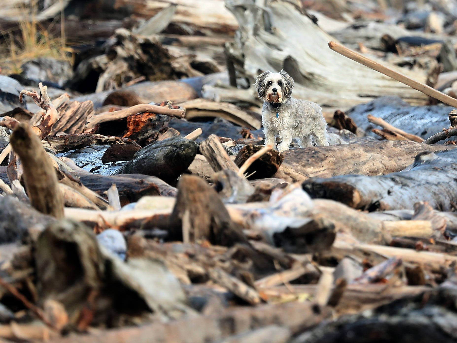 A dog blends in with all the driftwood strewn about the beach at Point No Point in Hansville on Sunday, December 30, 2018.