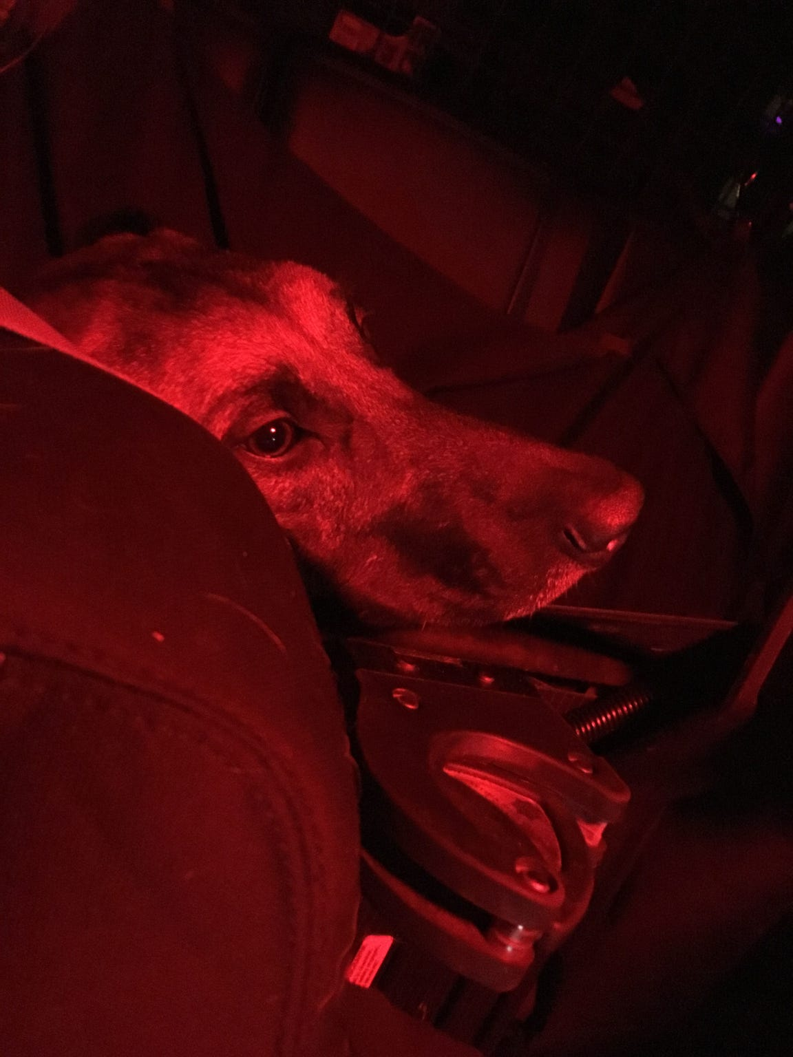K9 Rush relaxes in the backseat of South Burlington Police Officer Sarah Bellavance's cruiser during routine traffic patrol on Dec. 6, 2018.