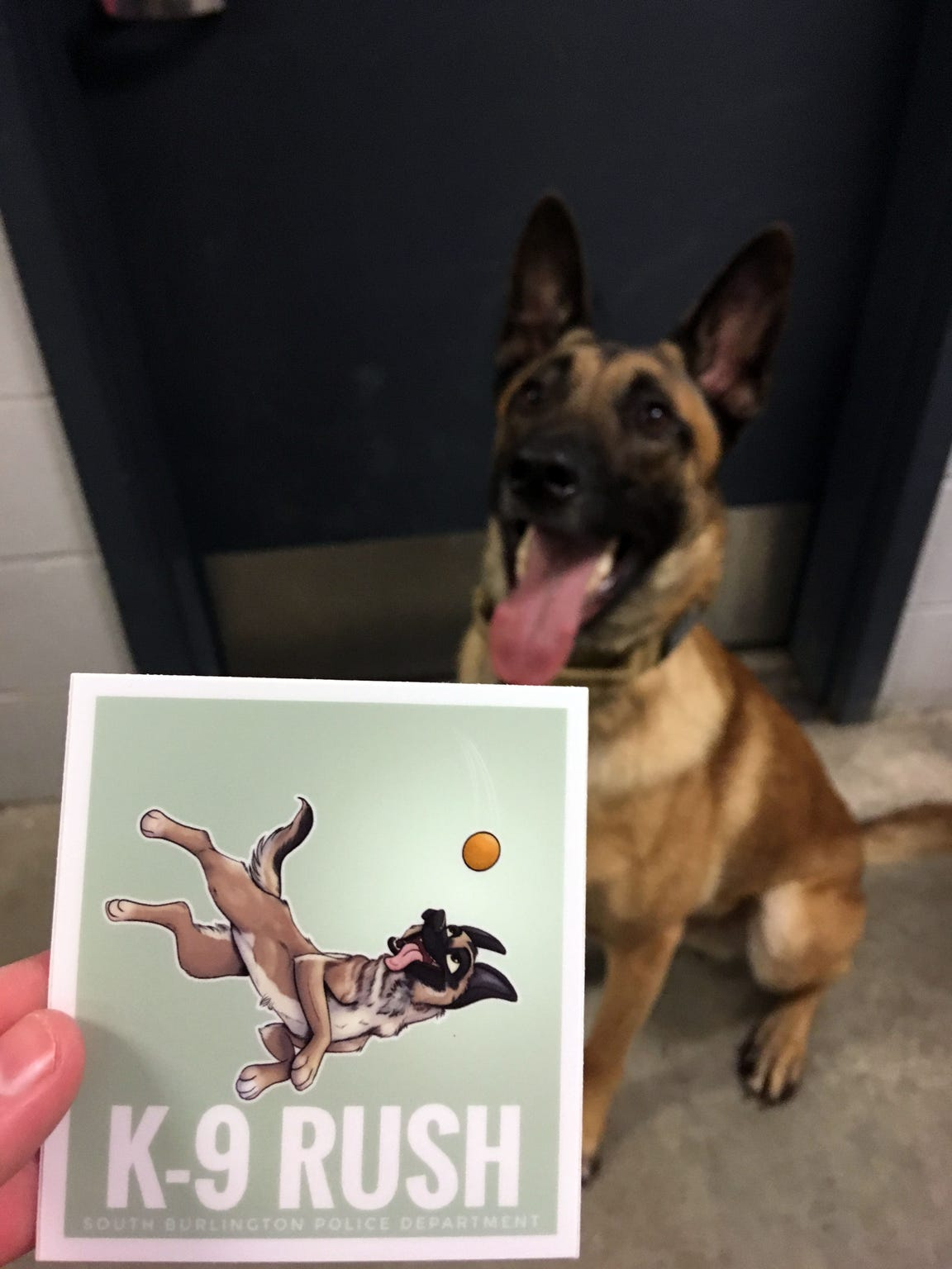 K9 Rush poses with a sticker made showing him in cartoon form. His handler, South Burlington Police Officer Sarah Bellavance, hands the stickers out to people in the community, she said.