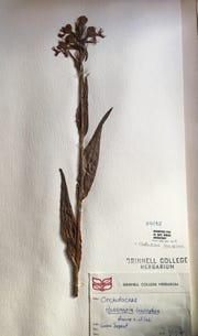 A 1928 specimen of an Iowa orchid from Grinnell College's herbarium inspired Lee Emma Running's new artwork at the State Capitol.