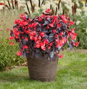 At about 30 inches tall and wide, 2019 AAS Red on Chocolate begonia will fill a large pot.