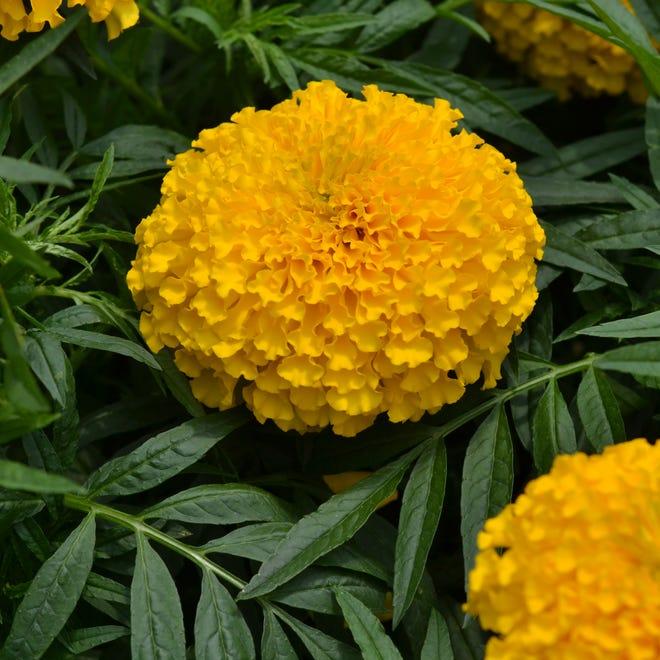 2019 AAS Winner Big Duck Gold marigold is praised for its season-long flowers.