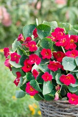 Baby Rose nasturtium's color and size earn the annual the 2019 AAS moniker.
