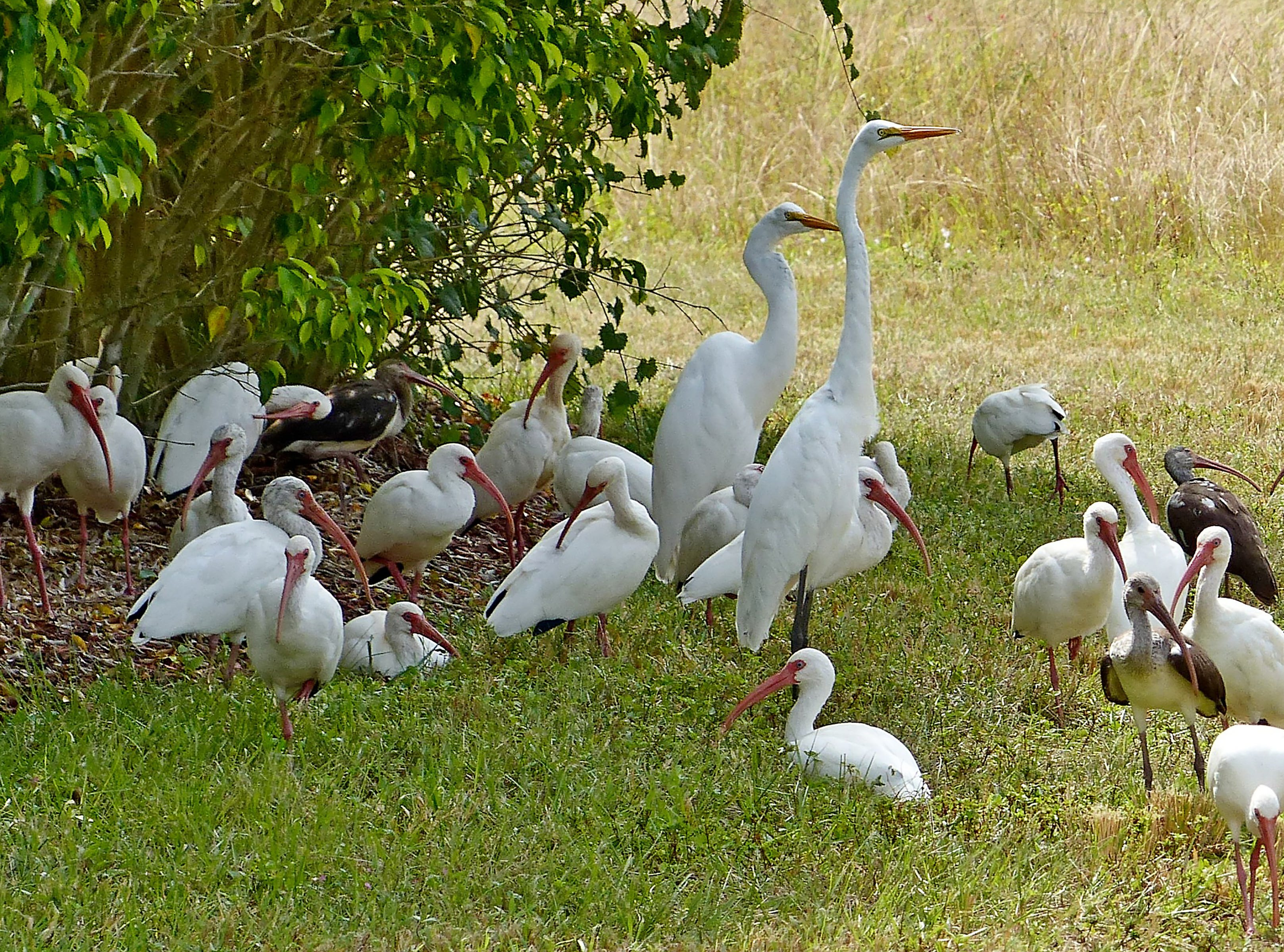 "Steve Rimar took this photo at Cascades in Estero and writes: ""A family of different birds. There are young and adult Ibis and, a pair great egrets."
