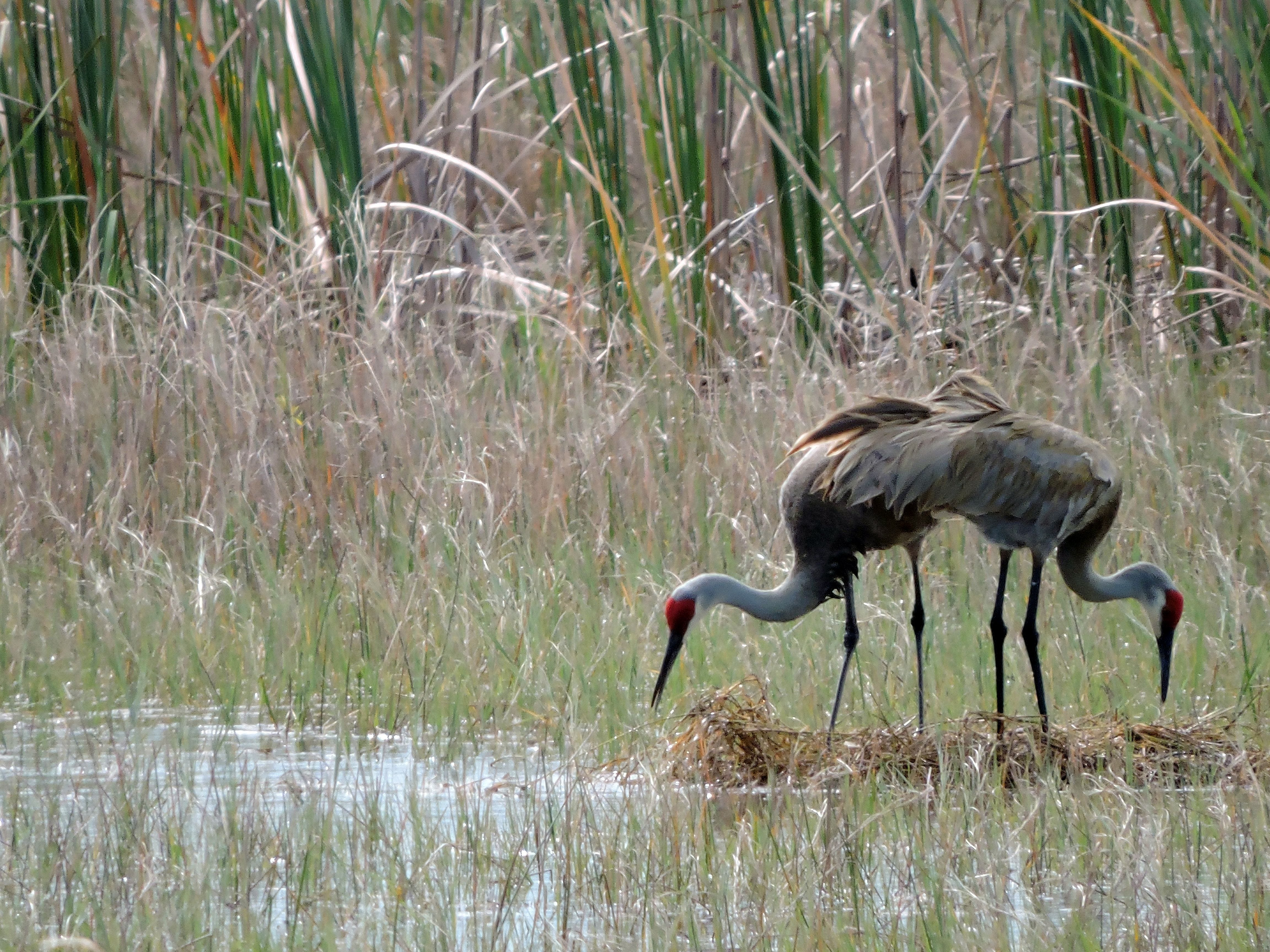 "Jim Matiya writes: ""These sandhill cranes are building a nest for a baby."""