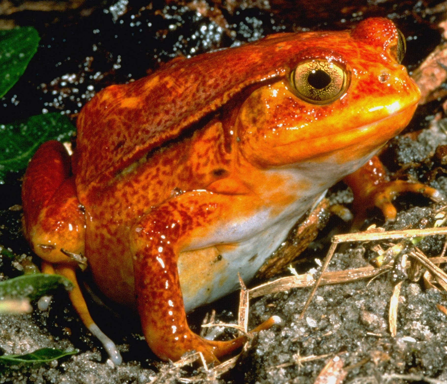 """A tomato frog, found in Madagascar, is one of the friendlies you'll see at """"Frogs!"""" - if you catch the Milwaukee Public Museum exhibit before it closes Sunday."""