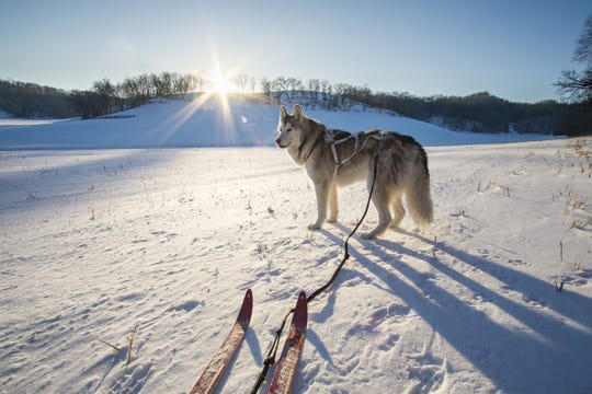 Loki the Wolfdog skiing at Justin Trails Resort