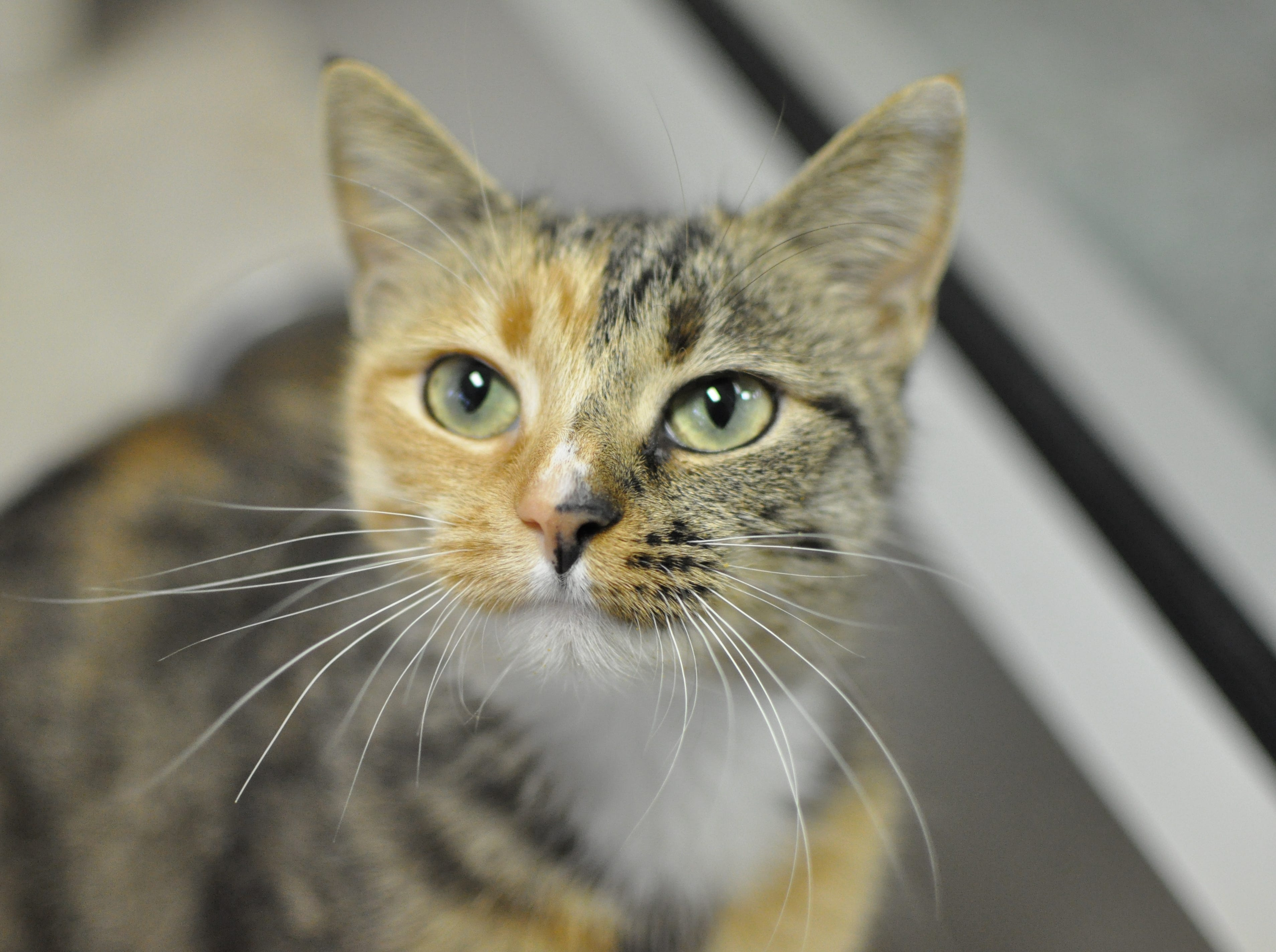 Spicy Sara, 1, is sweet and sassy. She is spayed.
