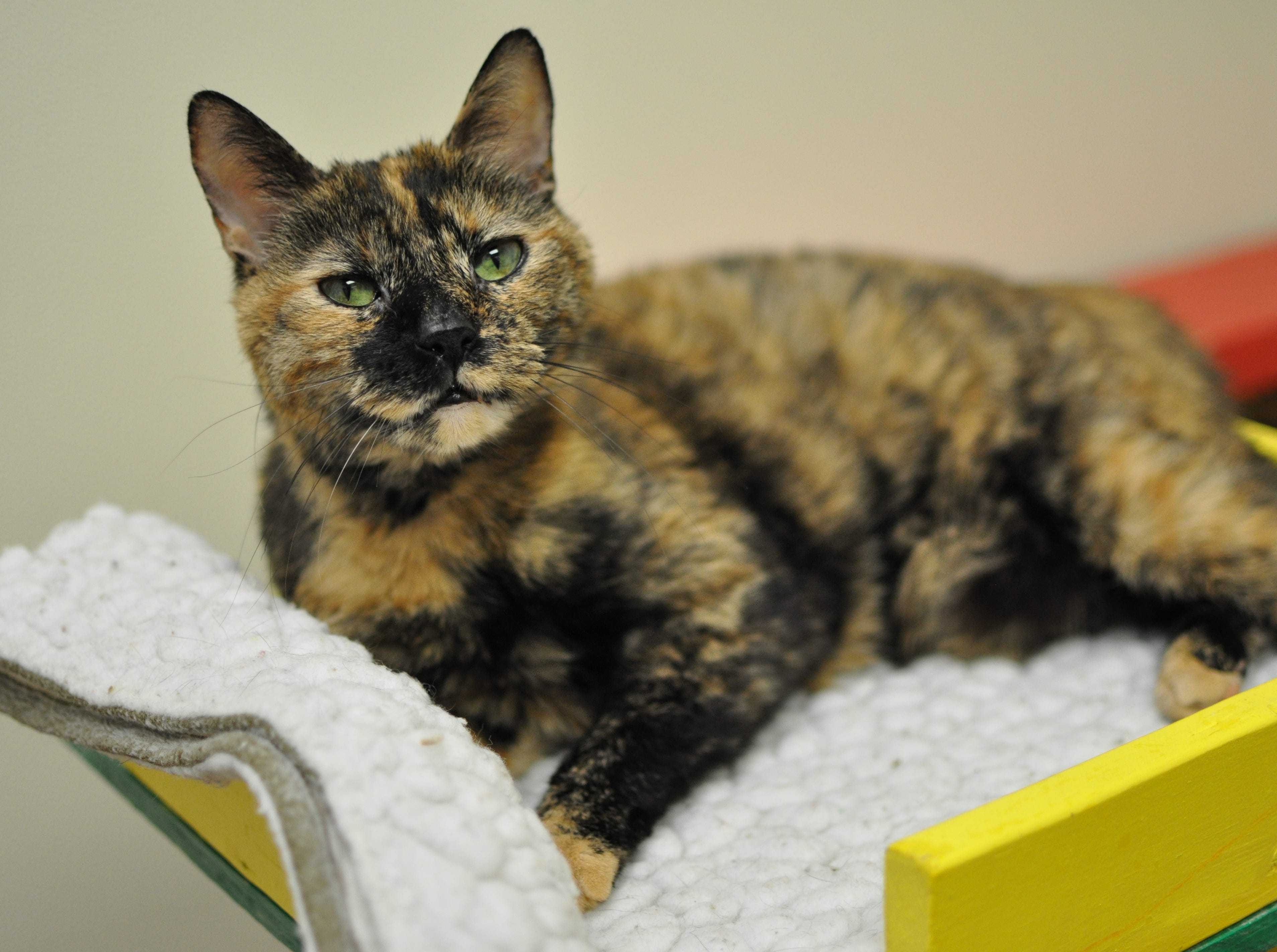 Piña Colada, 7, loves belly rubs and ear scratches. She is spayed and declawed.
