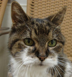 A cuddly, friendly 12-year-old, Snickers loves to be held and pet. She is spayed.