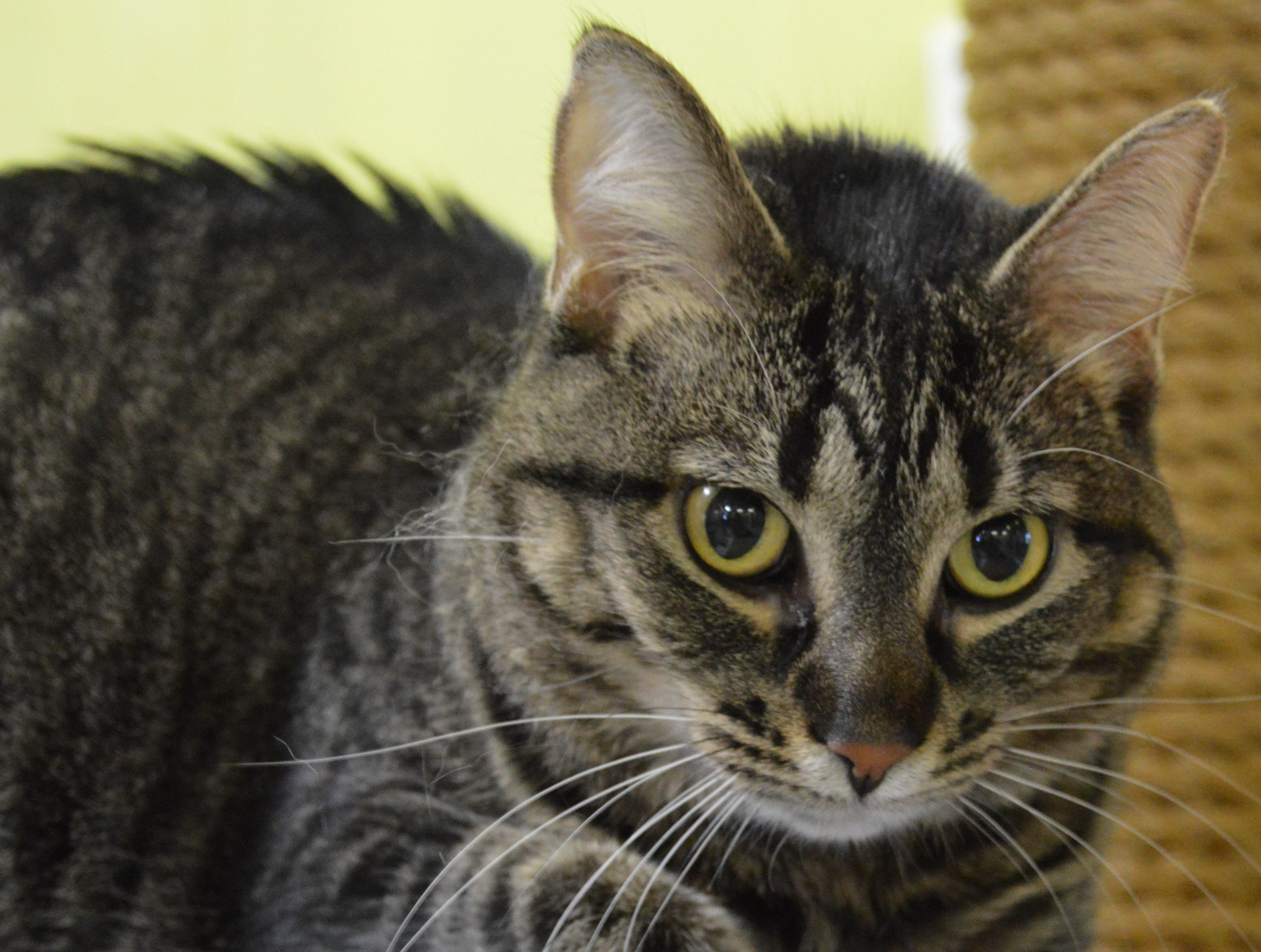 7-year-old Tiger Blossom likes other dogs, but would prefer to be your only cat. She is spayed and declawed.