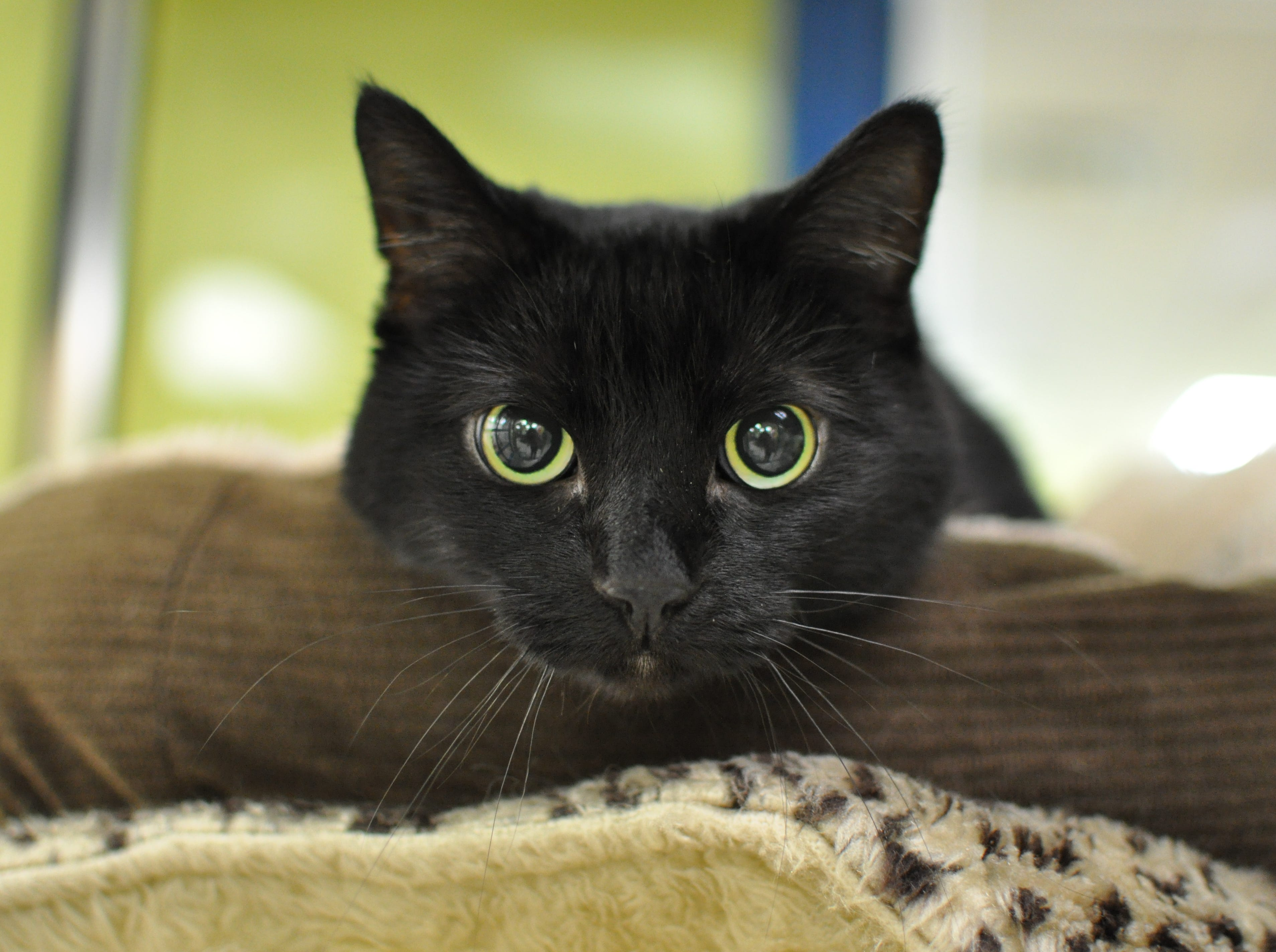 Isabella, 9, is hoping to find her forever home. She is declawed and spayed.