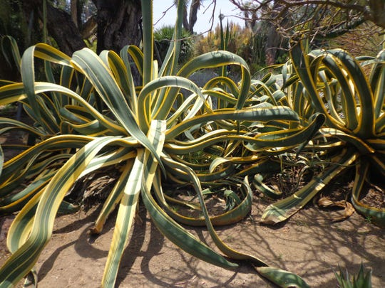 Here in the low desert, big variegated agaves prefer bright shade for protection from burning.