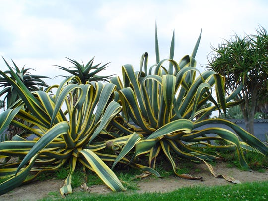 "Mature Agave americana, or 'Variegata,"" at the Huntington Botanical Garden in San Marino."
